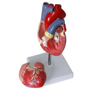 Image 4 - Cuore umano Anatomia anatomico modello medico Visceri Emulational Organo Modelli di Insegnamento scienza aiuti giocattolo