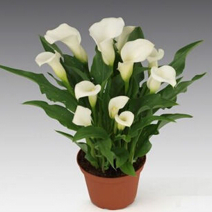 Promotions Bonsai And Colorful Calla Lily Seed Rare Plants Flowers -20 Seeds