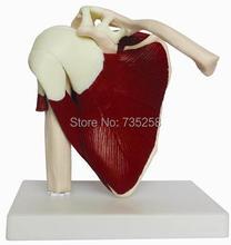 Natural Big Shoulder Muscle Model,1:1 Model of Shoulder Joint