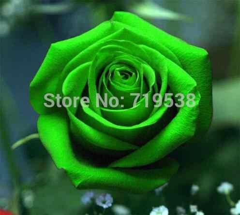 Cina Hijau Mawar Bonsai untuk Kekasih Mawar Hijau Bonsai 100 Pcs/bag