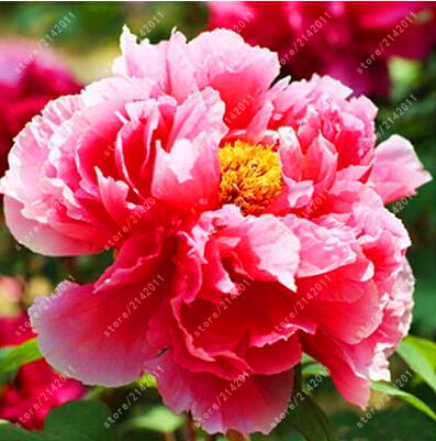 Peony Seeds Flower Seeds  Beautiful Bonsai  Plant For Home Garden