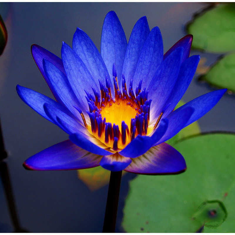 Detail Feedback Questions About 10pcs Flower Lotus Blue Water Lilies