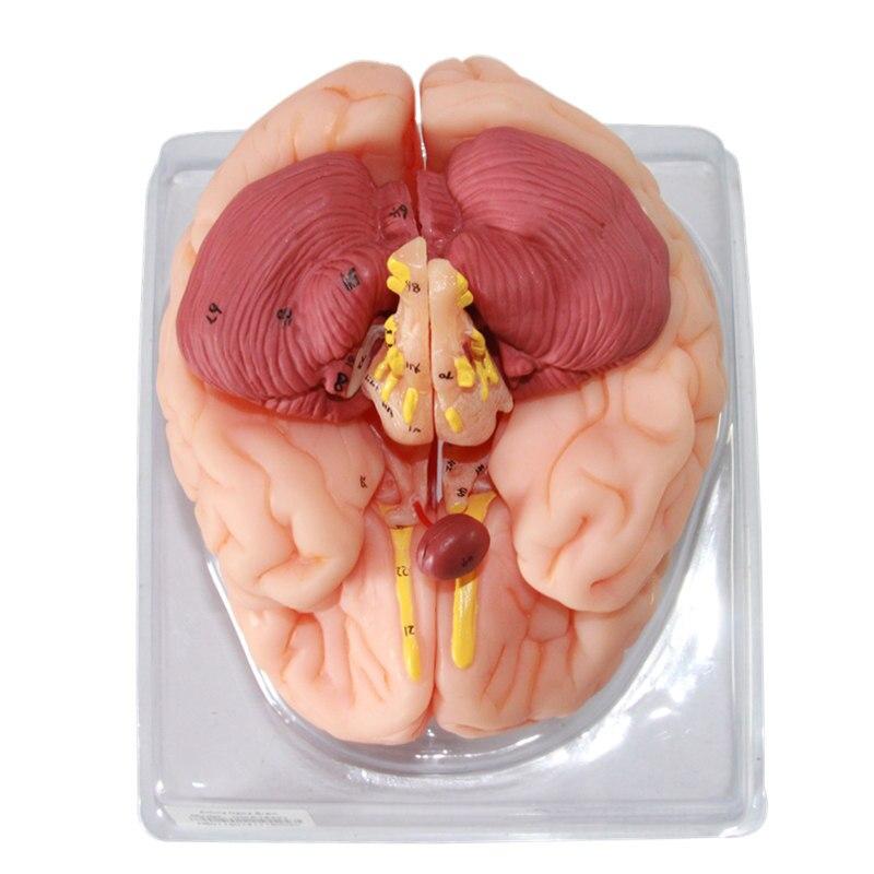 Brain Artery Model 1:1 Brain Anatomy Model with cerebral sagittal ...