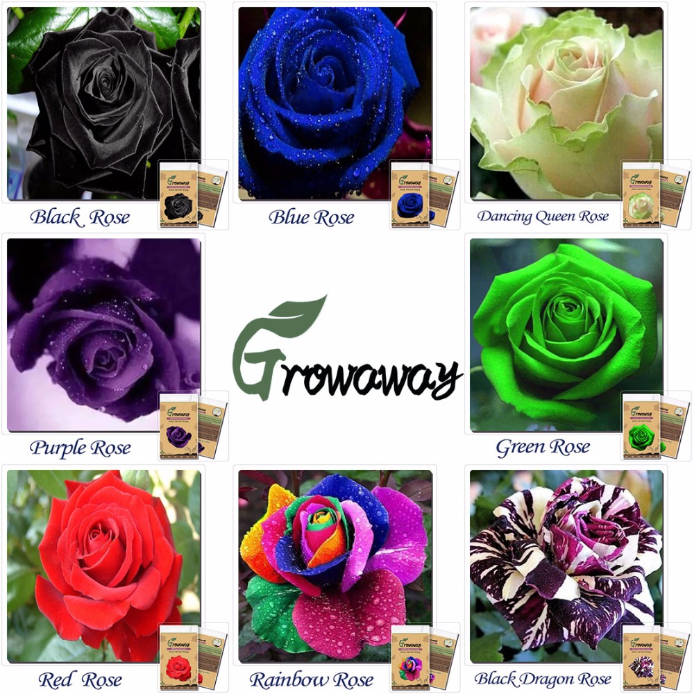 Buy bonsai seeds 50 x rare multi colors for Buy rainbow rose seeds