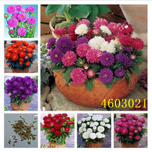 100 pcs / bag China Mother Chrysanthemum aster plant Rare perennial flower plant Indoor bonsai flowering plants Family garden(China)