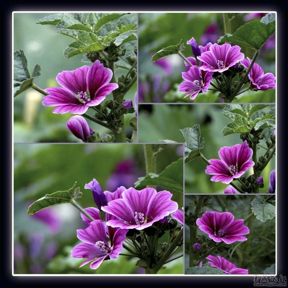 Алтей цветок фото