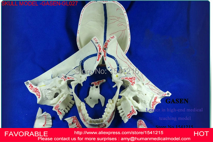MEDICAL SKULL MODEL SKULL STOMATOLOGY NEUROLOGY SKULL DENTAL SIMULATOR DENTAL SKULL SYSTEM DENTAL MODELS MODEL -GASEN-GL027 цена