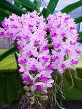 100 pcs Rare Cymbidium orchid Plants African Cymbidiums Plantas,Phalaenopsis bonsai flower Seedling for home garden pot