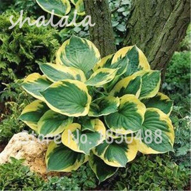 Plantas de sombra good milln variagado milln cucharo with for Lista de plantas de sombra