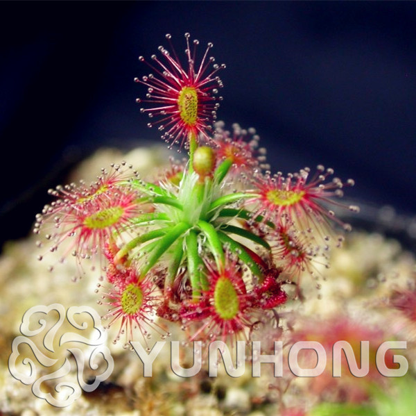 Garden Pots & Planters New Arrival!bonsai Flytrap Bonsai Carnivorous Plants Potted Garden Shield Mini Sundew Plant Radiation Protection 100 Pcs/lot Home & Garden