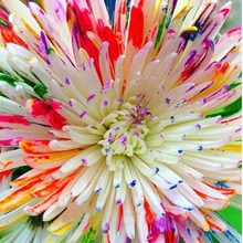 Rare Watercolor Chrysanthemum Seeds Lovely rainbow watercolor Chrysanthemum Natural DIY Garden Flower 120PCS