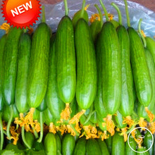 Best-Selling!Dutch Cucumber,Cucumber Seeds Fruits and Vegetable Seed 50 Seeds / lot,#AD4CQ1(China)