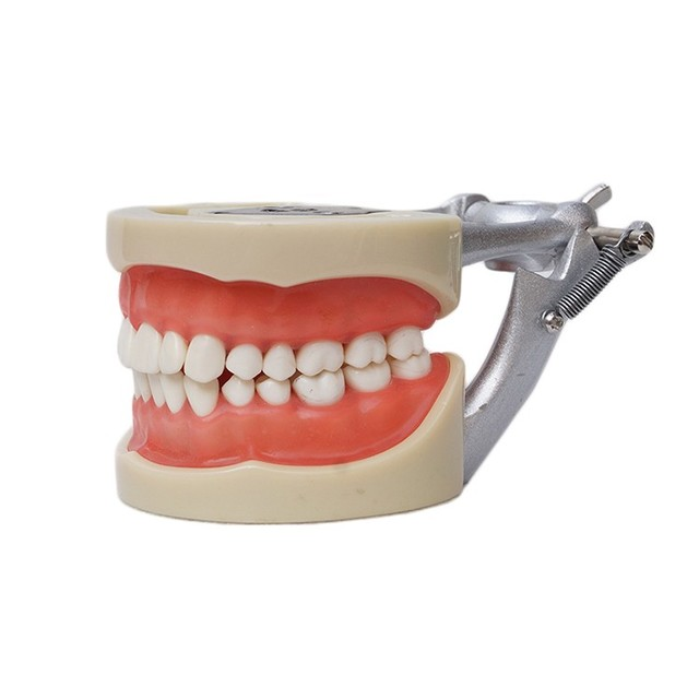Free Shipping 2016 NEW Dental Soft Gum Practice Teeth Model for Students with Removable Teeth