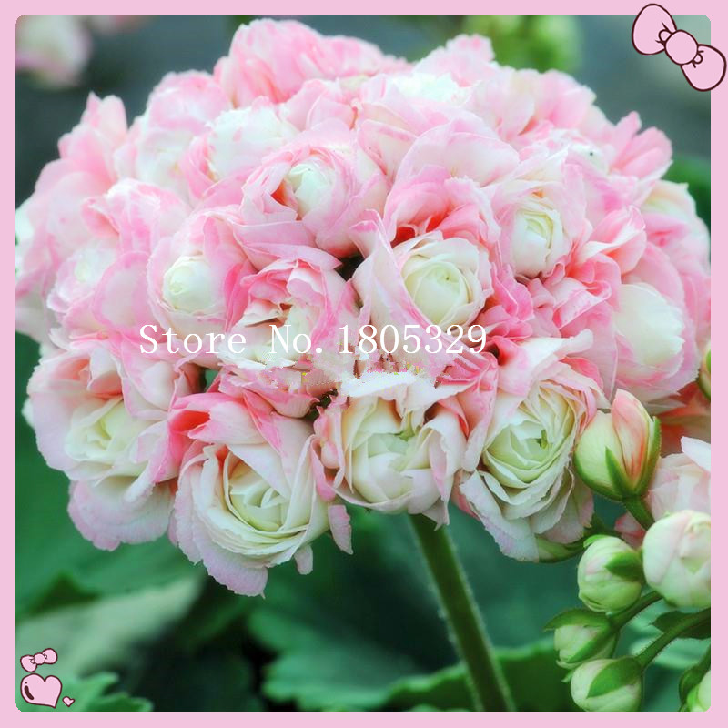 10PCS/bag Rare Geranium Seeds Appleblossom Rosebud Pelargonium Perennial Flower Seeds Hardy Plant Bonsai Potted Plant