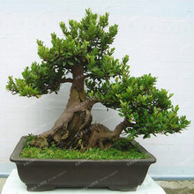 10Pcs Chinese Ash Fraxinus Seeds