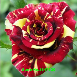 Ggg Бесплатная Доставка 100 шт. * 1 упак. Семена Китай Редкие метеоритный дождь роза семена розы семена бонсай сад