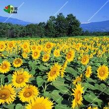 Big Sunflower Plants for Gardening Ornamental Flowers