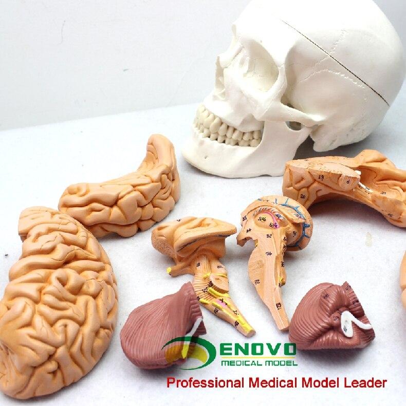 Medical Human Skull Brain Model Skull Model 1: 1 Brain Model Anatomy ...