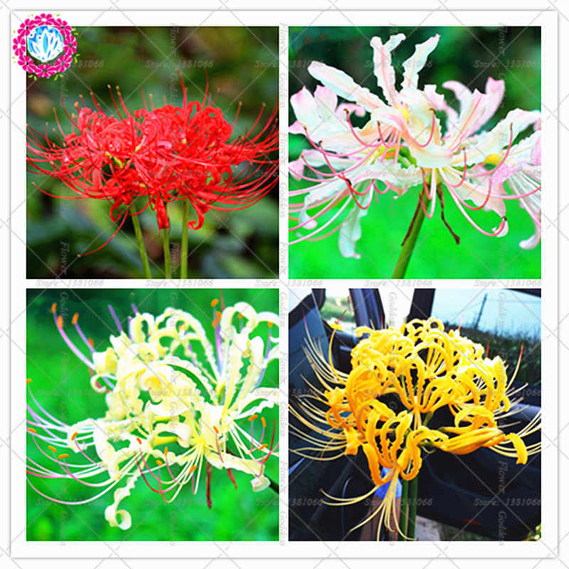 2pcs Equinox flower bulbs Bonsai colorful perennial manjusaka Perennial potted Lycoris radiata bulb plant for Home Garden