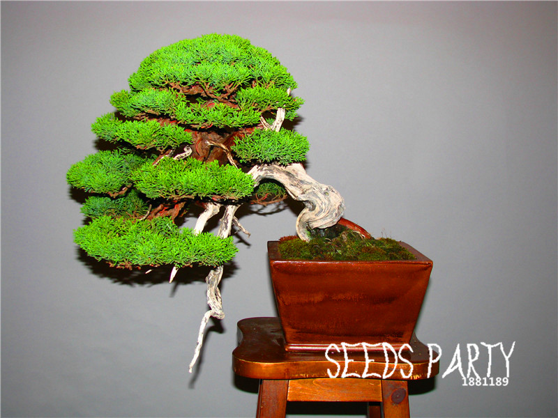 new fresh seeds 50 seedbag juniper bonsai tree potted flowers office bonsai purify the bonsai tree office