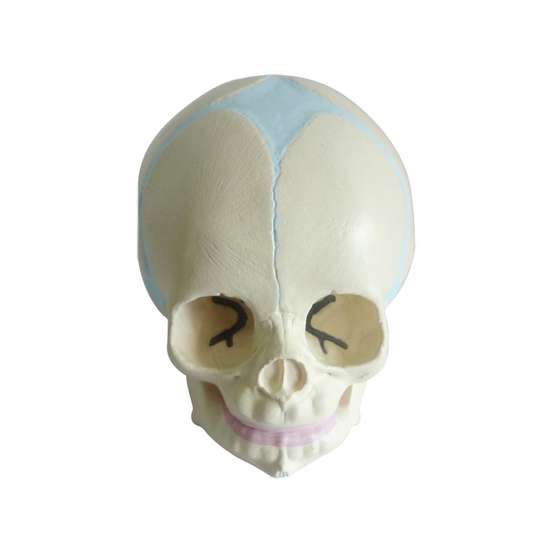 Human Anatomical Anatomy Baby Infant Fetal Skull Skeleton Medical