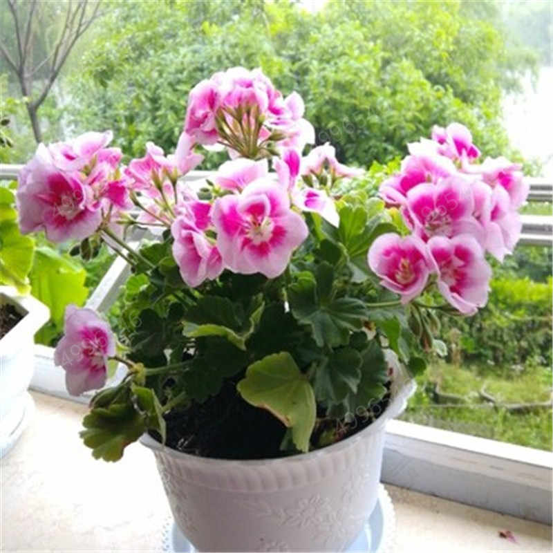 100 шт Красочные бонсай цветок герани редкая пятнистая Герань бонсай горшечные комнатные комнаты цветы для дома, сада для бонсай растений