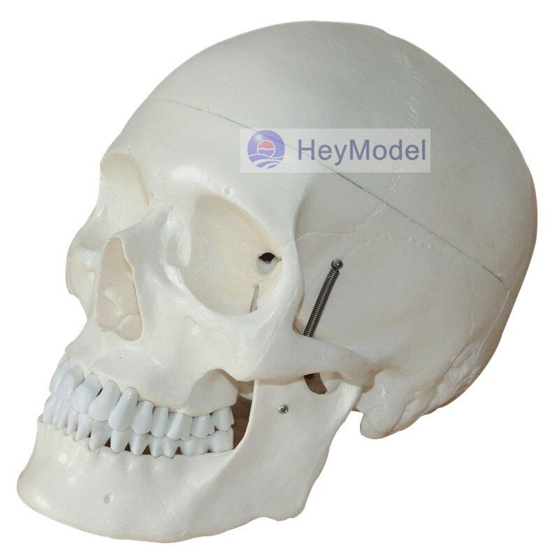 HeyModel Medical Use Human Skeleton skull Model Size 1: 1HeyModel Medical Use Human Skeleton skull Model Size 1: 1
