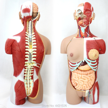 ENOVO Anatomical model of anatomy of the body organ of 85CM human organ system колесников л л никитюк д б клочкова с в textbook of human anatomy volume 3 nervous system