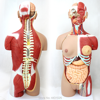 ENOVO Anatomical model of anatomy of the body organ of 85CM human organ system the lymphatic system model senior lymphatic system anatomical model