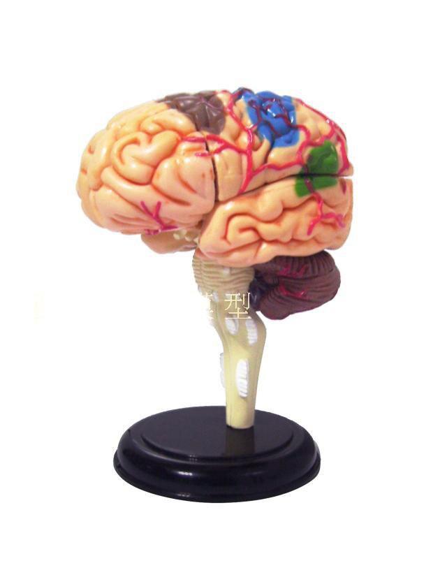 Atemberaubend Gehirnstruktur Galerie - Menschliche Anatomie Bilder ...