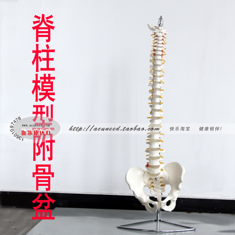 Spine model Massage and beauty rehabilitation training human spine model And the pelvis 50pcs tip107 to 220