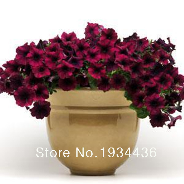 50 шт./лот для выращивания на балконе или крыльце Петуния открытых многолетних цветущие цвет красного вина цветок легко Волна серии для дома ...