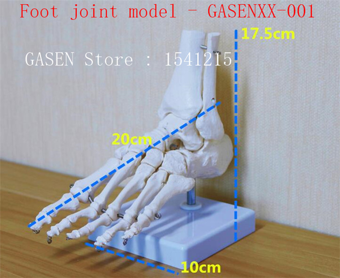 Ankle joint Hand and foot surgical Medical Orthopedic specimens Skeleton model 1: 1 simulation Foot joint model - GASENXX-001