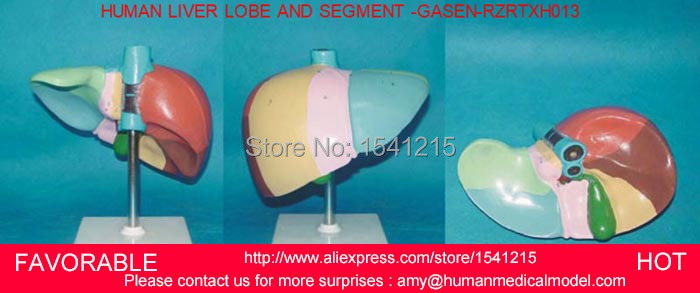 HUMAN LIVER MODEL ANATOMICAL MODEL MEDICAL SCIENCE TEACHING SUPPLIES,HUMAN LIVER MODEL,  LIVER MEDICAL MODEL -GASEN-RZRTXH013 2 part anatomical healthy human uterus and ovary model female medical anatomy teaching supplies