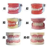 Dental Tooth model Teeth Dental Hygiene Model with Hard Gum 28 tooth for dental model teaching