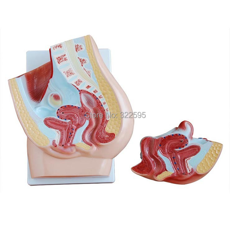 Cheap female pelvic sagittal anatomical models 2 parts, genital teaching Section human anatomical male genital urinary pelvic system dissect medical organ model school hospital