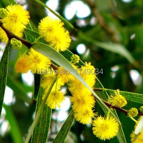 Golden mimosa seed acacia yellow wattle tree flower seeds for home golden mimosa seed acacia yellow wattle tree flower seeds for home garden 25 seed mightylinksfo