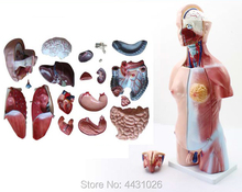 ENOVO Anatomical anatomical structure model of human internal organs 45CM body