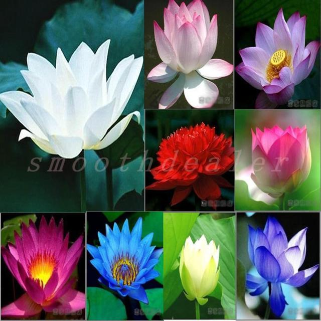 Many colors lotus seeds mixed order teach you plant the lotusbowl many colors lotus seeds mixed order teach you plant the lotusbowl of ephraim mightylinksfo Gallery