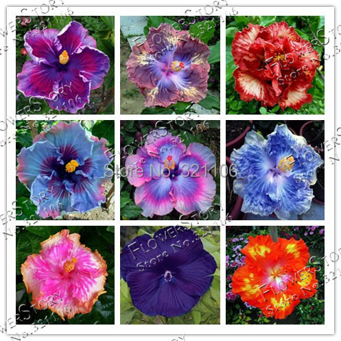 9 Colors Dinnerplate Hibiscus/ Perennial Flower 20 Seeds / Color Easy to Grow/ Huge 10 12 Inch Flowers -in Bonsai from Home u0026 Garden on Aliexpress.com ...  sc 1 st  AliExpress.com & 9 Colors Dinnerplate Hibiscus/ Perennial Flower 20 Seeds / Color ...