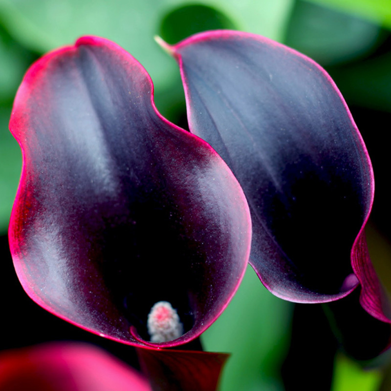 Hot Sale Rare Red Edge black Calla Seeds Balcony Potted Bonsai Patio Plant Seeds Calla F ...