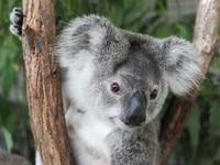 16CM New Arrival Super Cute Small Koala Bear Plush Toys Adventure Koala Doll Birthday Christmas Gift PT024 3