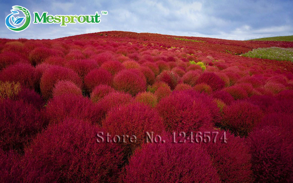 compare prices on red ornamental grasses online shopping/buy low, Natural flower
