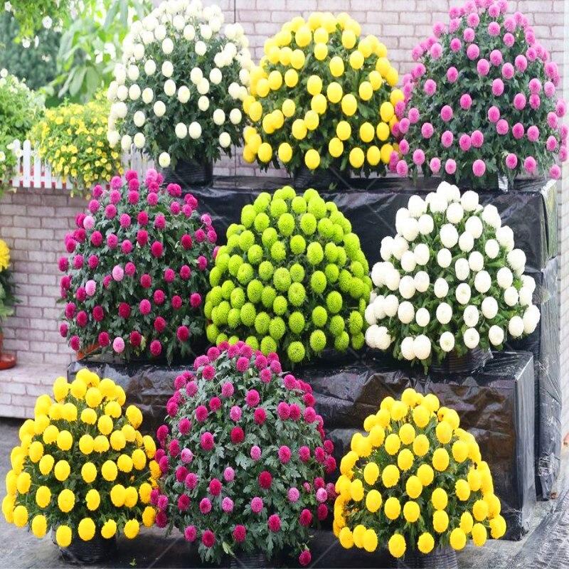100 Sztuk Rzadko Gruntów Chryzantemy Nasiona Bonsai Wieloletnia Kryty Doniczka Nasiona Kwiatów Dla Domu Ogród Semillas De Flores