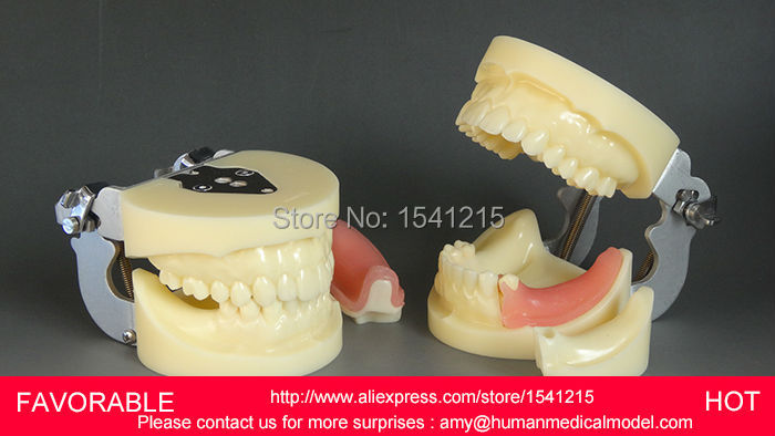 ANATOMICAL TEACHING ORAL DENTURES DENTAL ,ADULT DENTAL TEETH MODEL , MOUTH ORAL CARE MODEL-GASEN-DEN015 teeth model tooth models mouth oral care brushing teaching study model adult standard multifunction dental care gasen den002