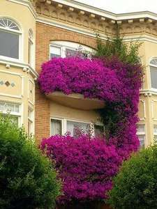 Air-Bonsai Creepers Plant Flower Bougainvillea-Plant 100pieces/Lot Purification Flores
