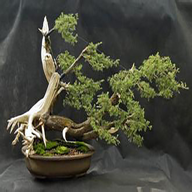 Juniper Bonsai Tree Seeds Potted Flower