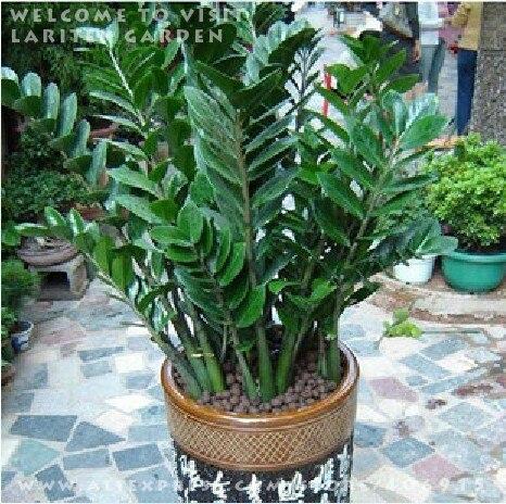 Popular zamioculcas plant buy cheap zamioculcas plant lots - Planta china del dinero ...