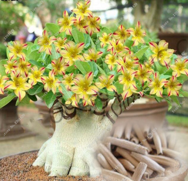 Online Buy Wholesale Adenium Seeds From China Adenium