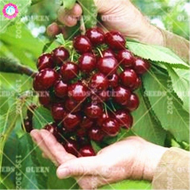 الظلام الأحمر الكرز الحلو قزم الفاكهة شجرة الربيع مزرعة المنزل بونساي النباتات بوعاء سهلة تنمو أفضل التعبئة والتغليف 20 قطعة